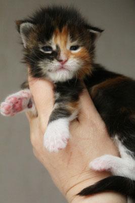 Rascoon Civeta кошка / female черная мраморная черепаха с белым MCO f 22 03 2 недели