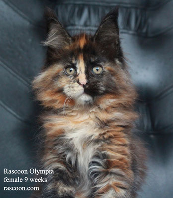 Rascoon Olympia female 9 weeks