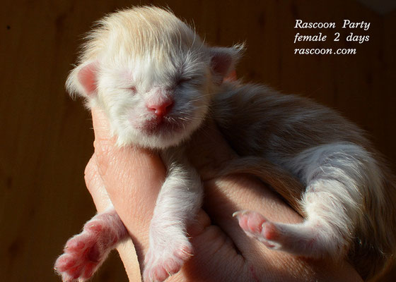 Rascoon Party female 2 days