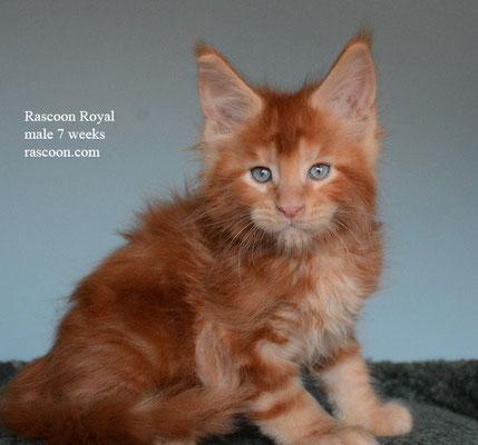 Rascoon Royal male 7 weeks