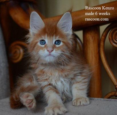 Rascoon Kenzo 6 weeks