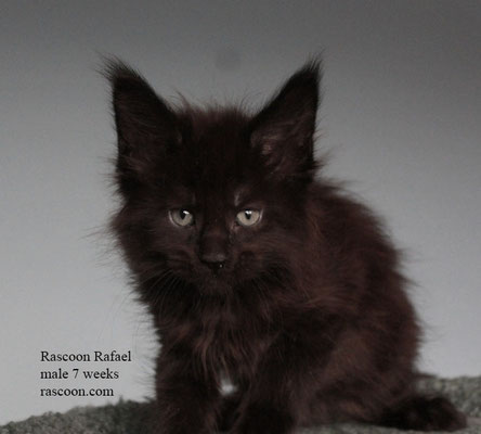 Rascoon Rafael male 7 weeks