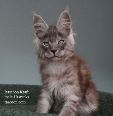 Rascoon Kraft male 10 weeks