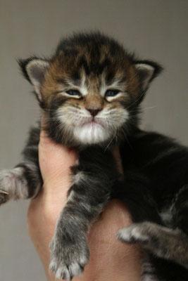 Rascoon Ciatea кошка / female черная мраморная MCO n 22 2 недели