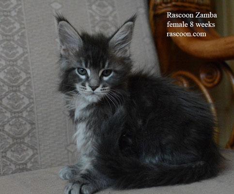 Rascoon Zamba 8 weeks
