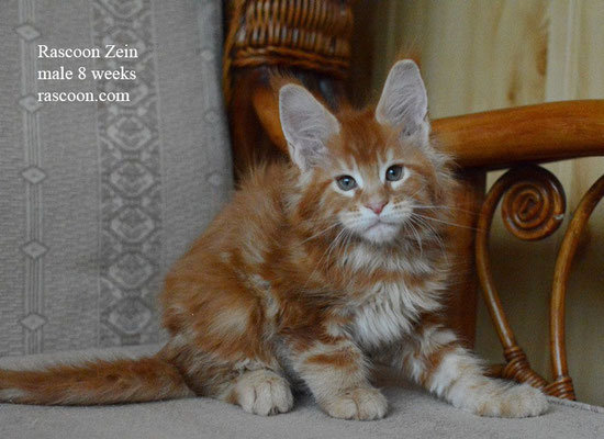 Rascoon Zein 8 weeks