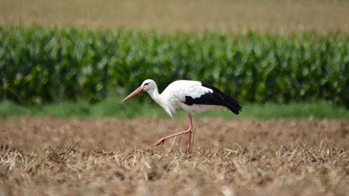 Foto: Stefan Kühne - Storch beim Mittagessen