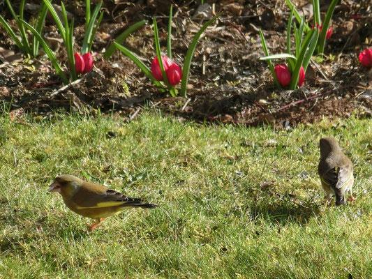 Foto: Krista Schulte - Grünfinken im Frühlingsgarten
