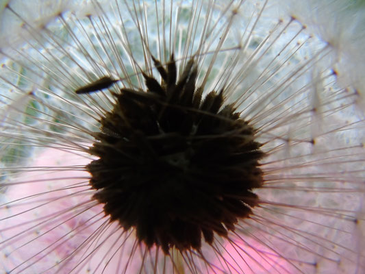 Foto: NAJU Otzberg - Samenstand einer Blume
