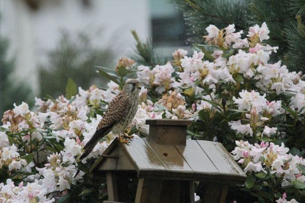 Foto: Bernd Sawitzky - Turmfalke im Garten (Hassenroth)