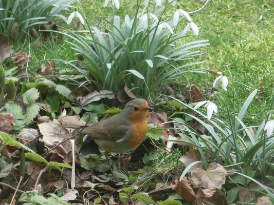 Foto: Krista Schulte - Rotkehlchen im ersten Frühling