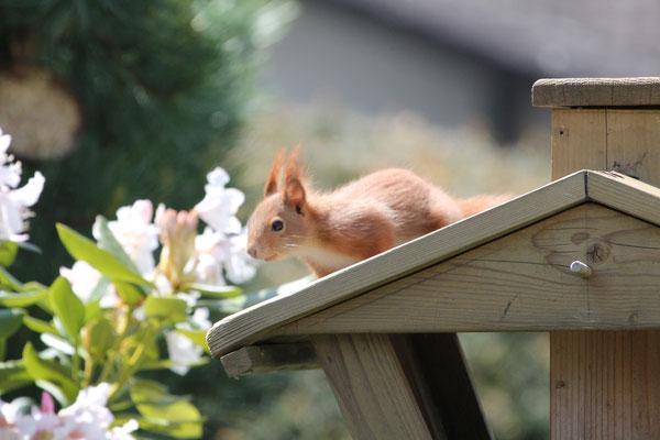 Foto: Bernd Sawitzky - Eichhörnchen im Garten (Hassenroth)