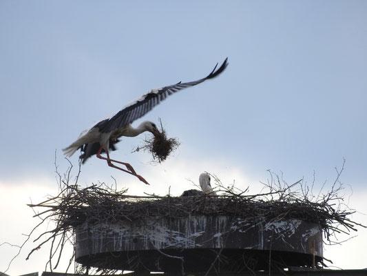 Foto: Louis Daab - Klinger Storch beim Nestbau