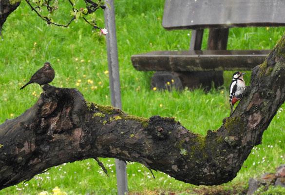 Foto: Klara Nagel - Nieder-Klingen, Heringer Straße: Amsel und Buntspecht gemeinsam auf einem Apfelbaum