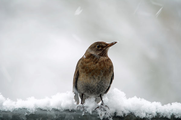 Foto: Stefan Kühne - Amsel im Winter