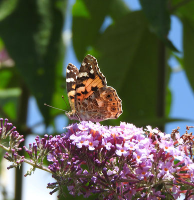 Foto: Klara Nagel - Schmetterling (Distelfalter) auf Blüte in Nieder-Klinger Garten