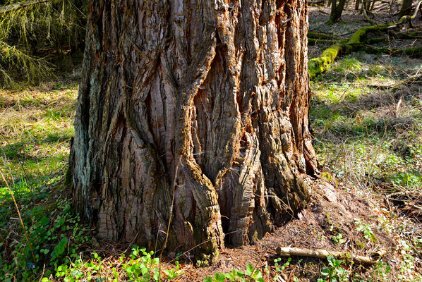 Foto: Tanja Keßler - Mammutbaum im Märkerwald