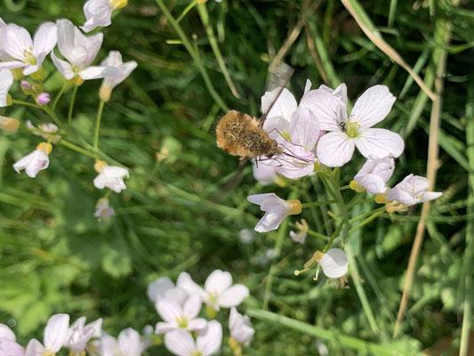 Foto: Stefan Kühne - Insekt am Habitzheimer Angelteich