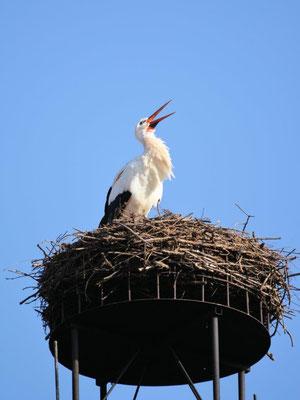 Foto: Stefan Kühne - Der Habitzheimer Storch ist zurück! Februar 2017