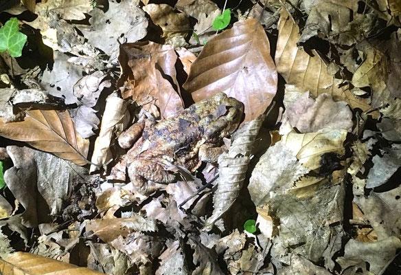 Foto: Sigi Joubert - Suchbild – Erdkröte im Laub