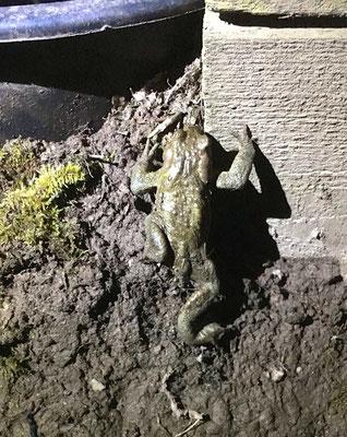 Foto: Sigi Joubert - Erdkröte am Ober-Klinger Krötenzaun
