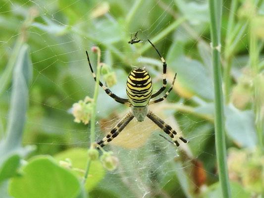 Foto: Klara Nagel - Gartenbewohnerin in Nieder-Klingen: eine Wespenspinne
