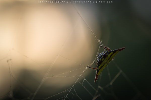 Araña a contraluz / Backlight spider. Kalibaru forest. Indonesia 2018