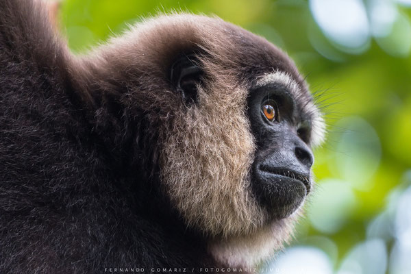Gibón de barba blanca / White-bearded Gibbon ( Hylobates albibarbis). Tanjung Puting National Park. Kalimantan. Borneo. Indonesia 2018