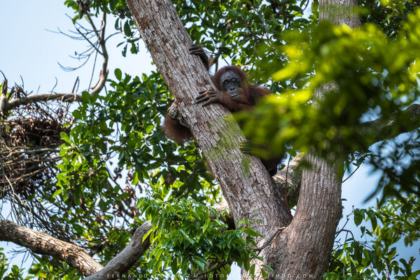 Orangutan (Pongo pygmaeus). Tanjung Puting National Park. Kalimantan. Borneo. Indonesia 2018