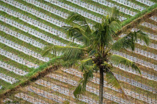 Cultivos / Crops. Bali. Indonesia 2018