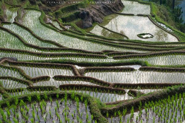 Arrozales en cascada / Paddy rice fields. Trekking. Tana Toraja. Sulawesi. Indonesia 2018