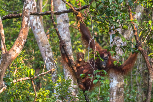 Orangutan family (Pongo pygmaeus). Tanjung Puting National Park. Kalimantan. Borneo. Indonesia 2018