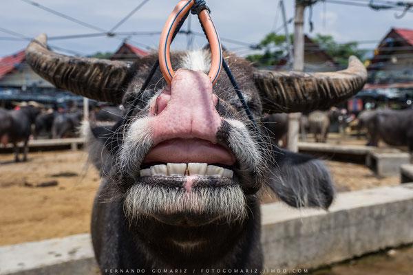 Mercado de búfalos / Buffalos market. Pasar Bolu. Tana Toraja. Sulawesi. Indonesia 2018