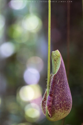 Nepenthes, planta carnívora / carnivorous plant. Tanjung Puting National Park. Kalimantan. Borneo. Indonesia 2018