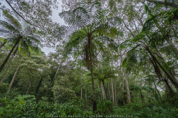 Bosque de helechos / Fern forest. Paltuding. Java. Indonesia 2018