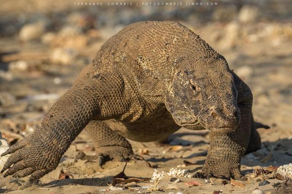 Dragón de Komodo / Komodo dragon (Varanus komodoensis). Komodo Island. Komodo National Park. Nusa Tenggara. Indonesia 2018