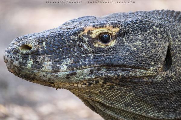 Dragón de Komodo / Komodo dragon (Varanus komodoensis). Rinca Island. Komodo National Park. Nusa Tenggara. Indonesia 2018