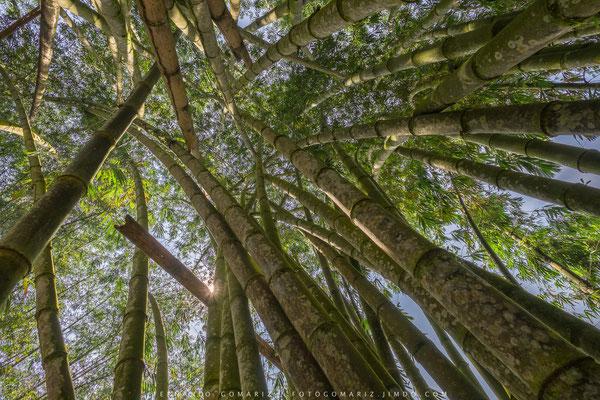 Bosque de bambú / Bamboo forest. Palawa. Tana Toraja. Sulawesi. Indonesia 2018