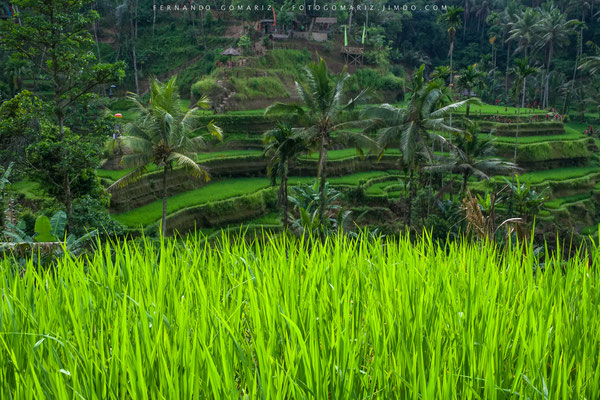 Arrozales / Rice paddies . Bali. Indonesia 2018