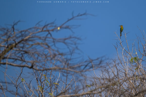Abejaruco / Bee-eater. Komodo Island. Komodo National Park. Nusa Tenggara. Indonesia 2018
