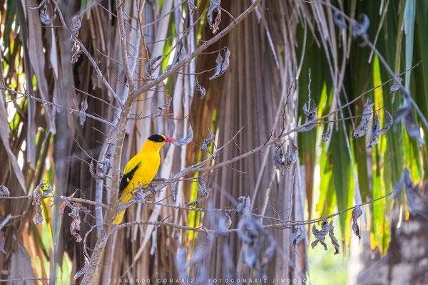 Oropendola / Golden oriole. Komodo Island. Komodo National Park. Nusa Tenggara. Indonesia 2018