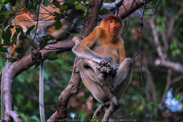 Mono narigudo / Proboscis monkey (Nasalis larvatus). Sekonyer River. Kalimantan. Borneo. Indonesia 2018