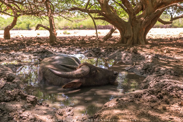 Búfalo de agua / Water buffalo (Bubalus bubalis). Rinca Island. Komodo National Park. Nusa Tenggara. Indonesia 2018