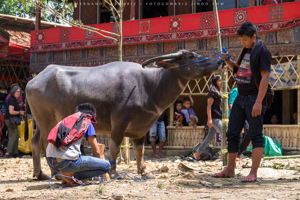 Sacrificio / Sacrifice. Ceremonia funeraria /Funeral ceremony. Rantepao. Tana Toraja. Sulawesi. Indonesia 2018