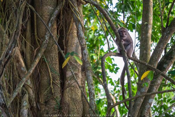 Macaco (Macaca fascicularis). Rain forest. Meru Betiri National Park. Indonesia 2018.