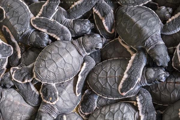 Tortuga verde / Green turtle (Chelonia mydas). Sukamade. Meru Betiri National Park. Indonesia 2018.