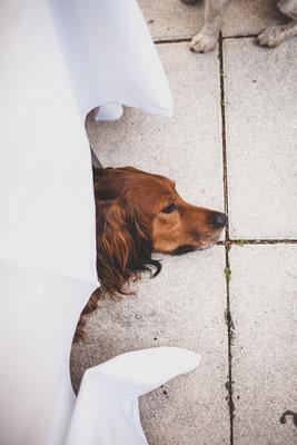 Hundefotografie -fauler Hund