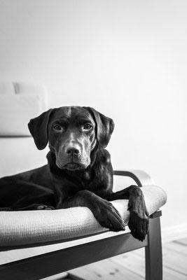Hundefotografie -Labrador liegt