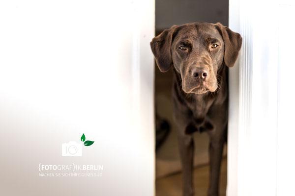 Hundefotografie -Labrador