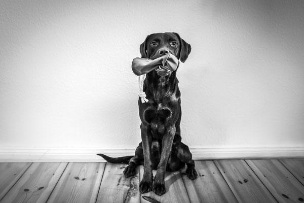 Hundefotografie -Labrador sitzt